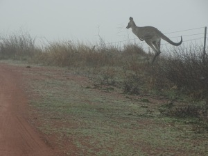 Roos in the mist, Yass