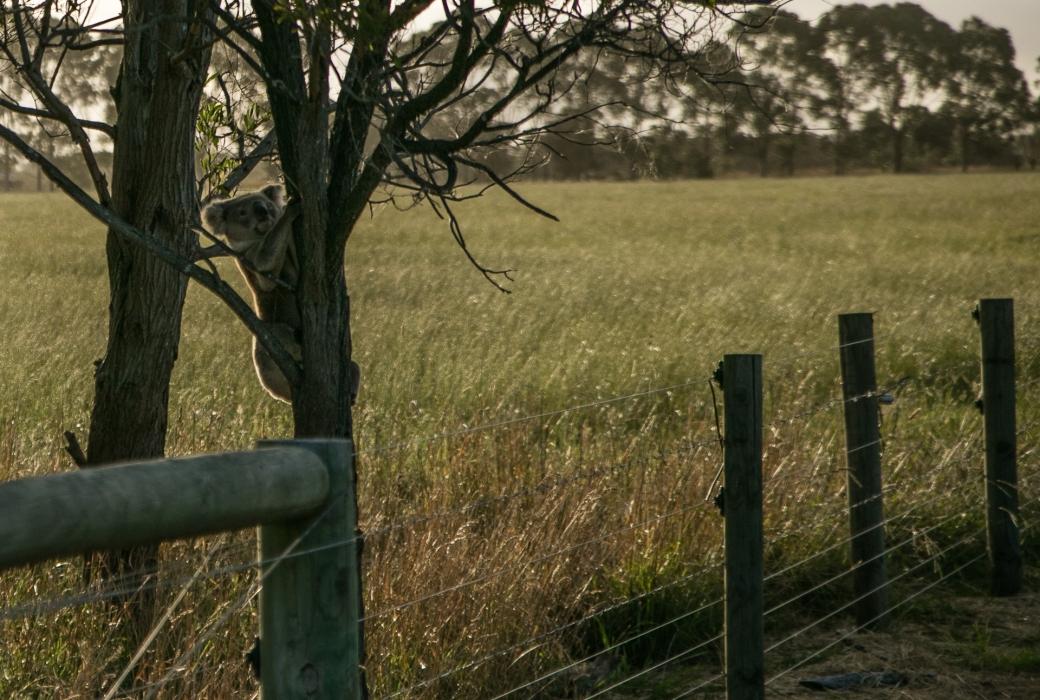 gippsland-koala-2