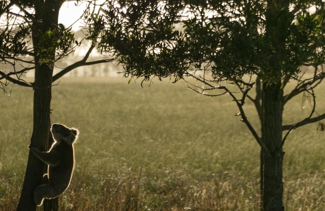 gippsland-koala-3
