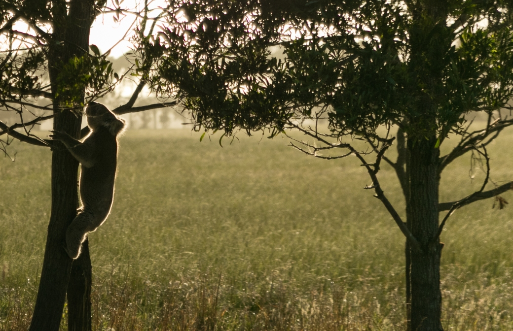 gippsland-koala-4
