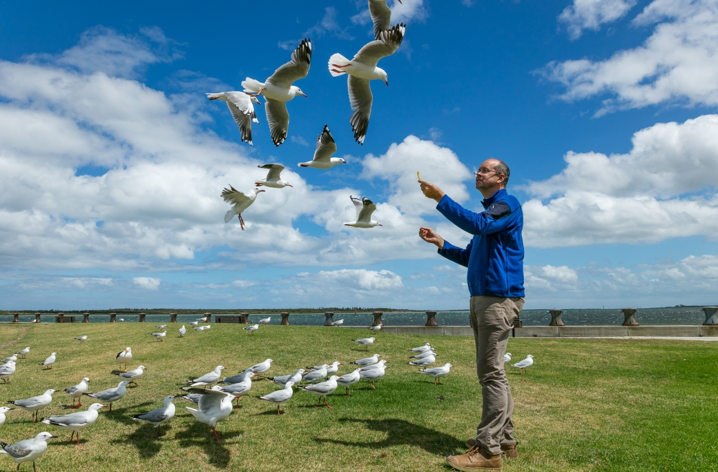 gippsland-seagull