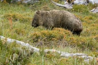 wombats-23