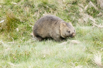 wombats-3