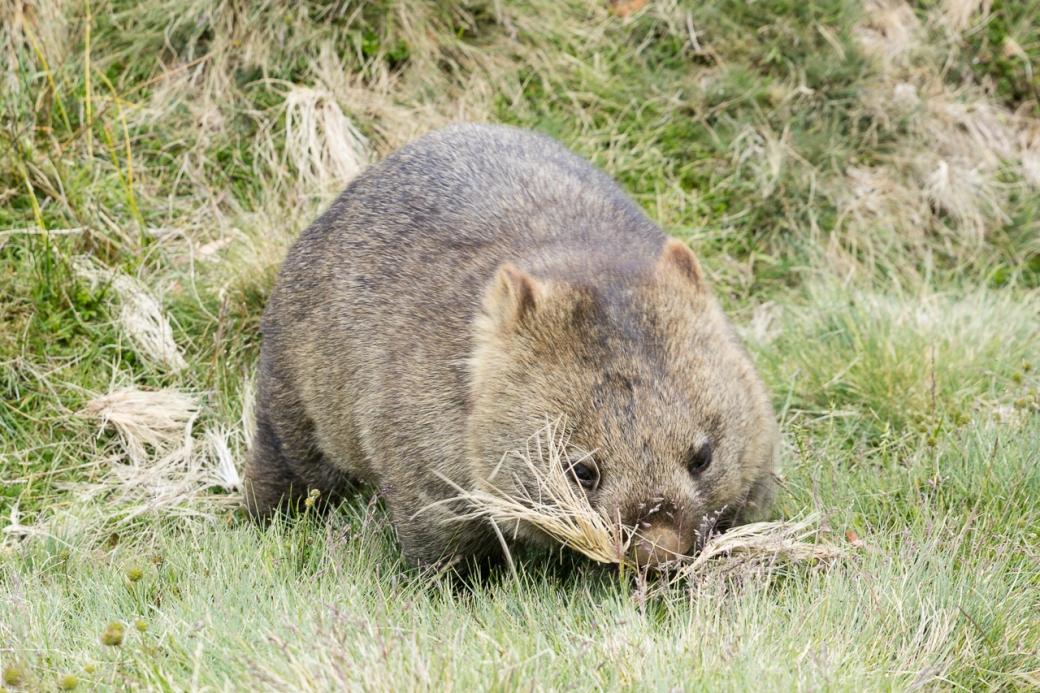 wombats-4