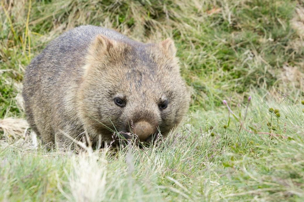 wombats-5