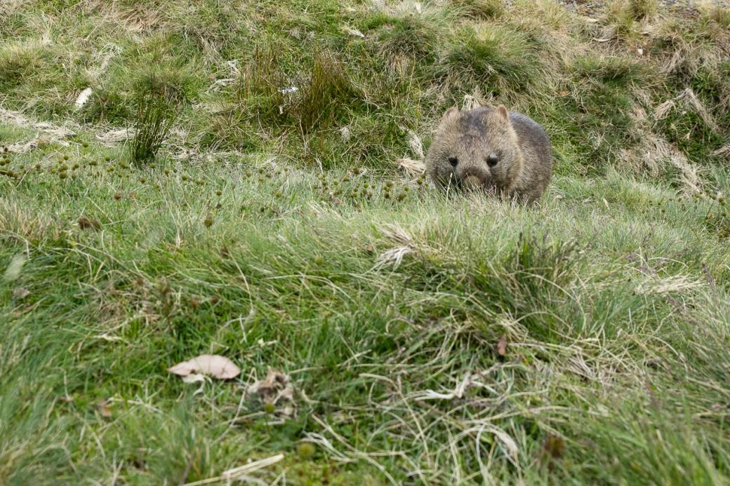 wombats-6