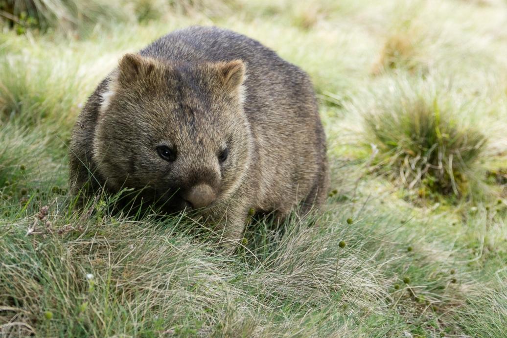 wombats-8
