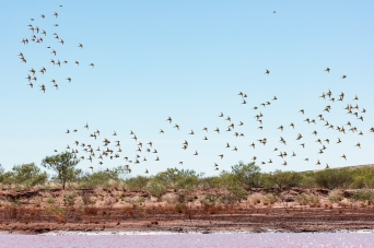 Budgies & finches, near Tennant Creek