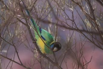 Australian Ringneck Parrot, Alice Springs