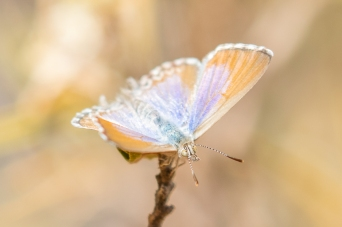 Turquiose Jewel Butterfly, Alice Springs