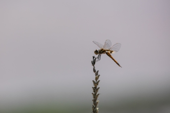 Dragonfly at Five Rivers Lookout
