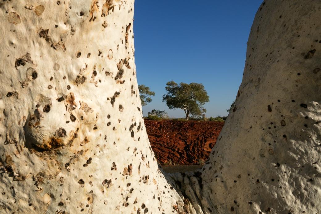 White gum eucalyptus